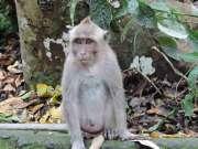 04-Bali-Ubud-Monkey Forest-Monos- (4)-min
