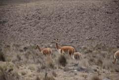 02-Peru-Antiplano-Pampa Cañahuas (9)
