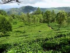 16-Sri-Lanka-Tierras-Altas-Campos-de-te-01