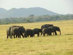 19-Sri-Lanka-Minneriya-PN (9)