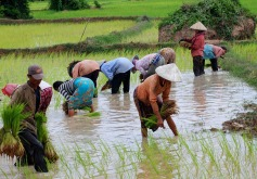 02-Camboya-Siem-Reap-03-Arrozales-0 (7)
